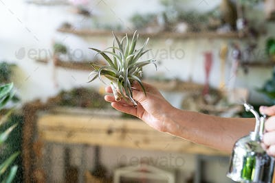 woman florist spraying air plant tillandsia at garden home, greenhouse, taking care of houseplants.