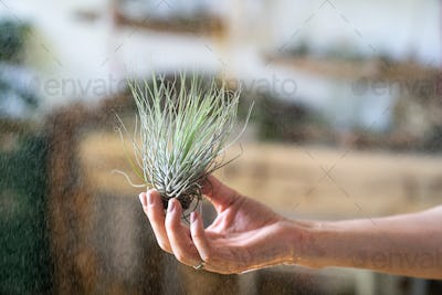 woman florist holding in hand, spraying air plant tillandsia at garden home, greenhouse, taking care