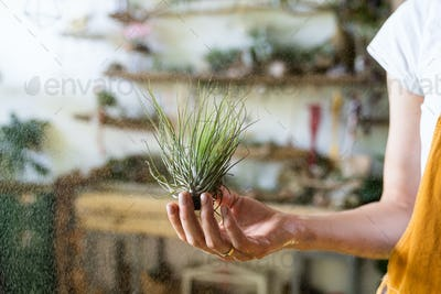 woman florist holding and spraying air plant tillandsia at garden home, taking care of houseplants.