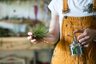 woman florist spraying air plant tillandsia by steel water sprayer at garden home, taking care