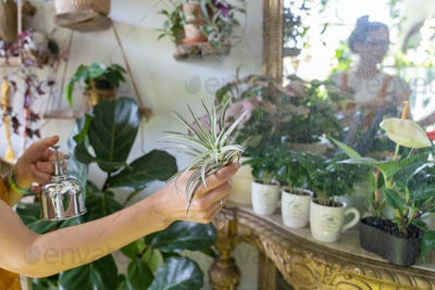 Woman florist spraying air plant tillandsia at garden home, greenhouse, taking care of Epiphytes