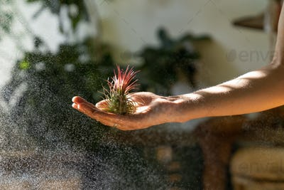 woman florist holding in hand and spraying air plant Tillandsia at garden home, taking care
