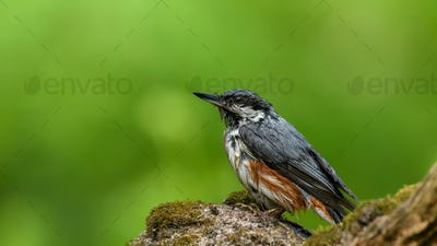Eurasian Nuthatch Siting on a Stick