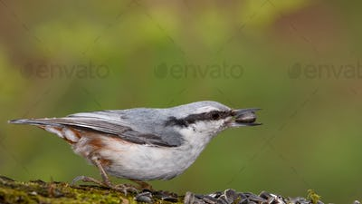 Eurasian Nuthatch Siting on a Stick.