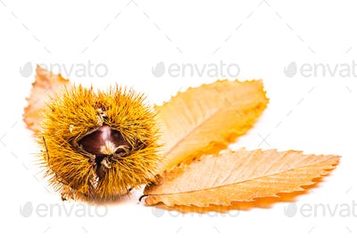 Ripe chestnut with autumn leaves close up on white background. Raw Chestnuts for Christmas Autumn
