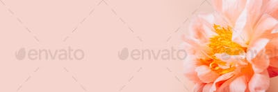 Pink Peony, simple elegance