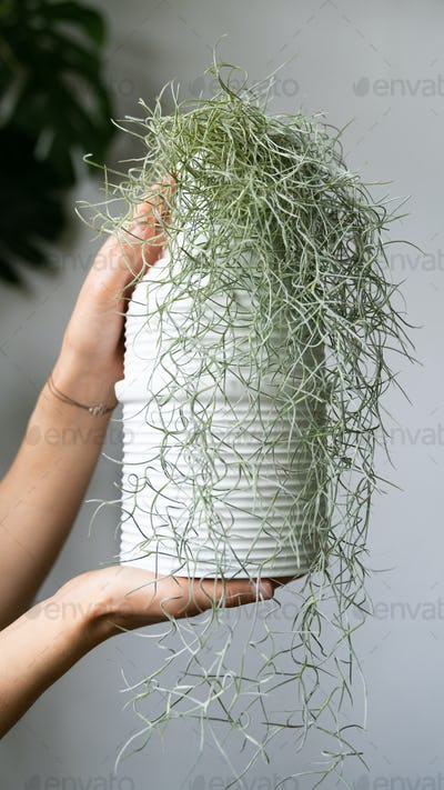 Woman hands holding a Spanish moss (Tillandsia usneoides) in white ceramic vase in home garden
