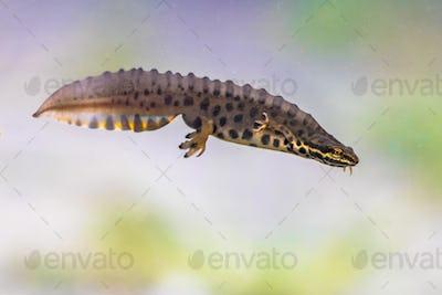 Common newt amhibian in freshwater habitat