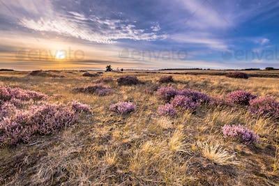 Soothing landscape scenery of heathland