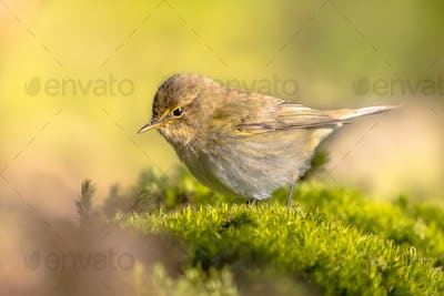 Common chiffchaff perched on moss