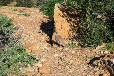 Wild red legged partridge in natural habitat, Attica Greece