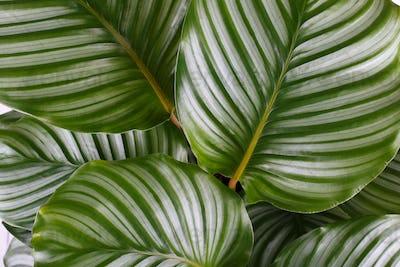 Calathea Orbifolia leaves