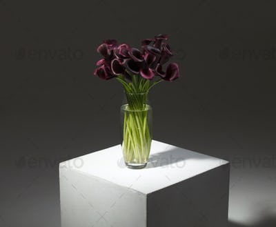 purple calla flower isolated studio still life photo