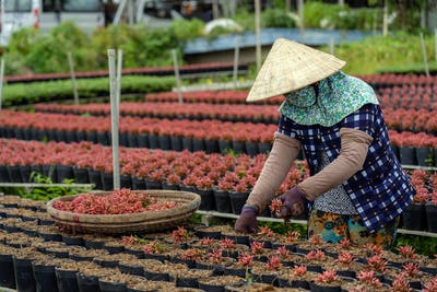 Closeup vietnamese farmer working with red flowers garden in sadec, dong thap province,
