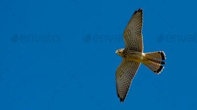 Kestrel in Flight Against the Sky.