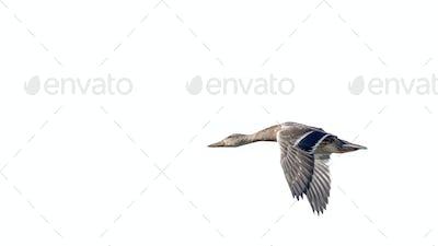 Wild Duck . Wild Duck  Isolated on White Background.