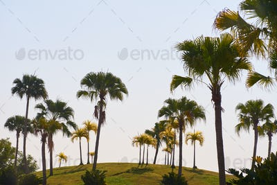 Plam trees with clear sky