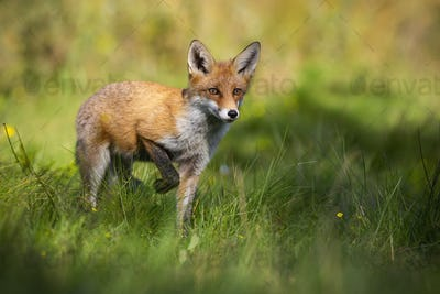 Red fox rising one leg and approaching from front on glade in summer nature