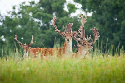 Herd of fallow deer stags with antlers wrapped in velvet standing on meadow
