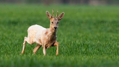 Albino roe deer buck walking on a green wheat field in spring nature
