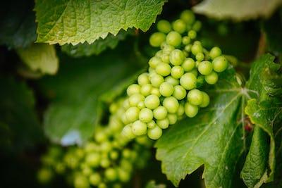 Vines on Mornington Peninsula in Australia