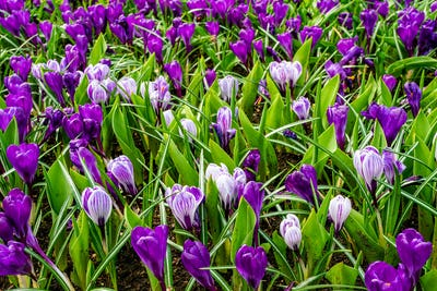Spring Field With Colorful Crocus Flowers