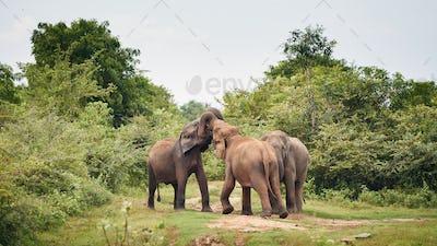 Elephants in the wild in Sri Lanka