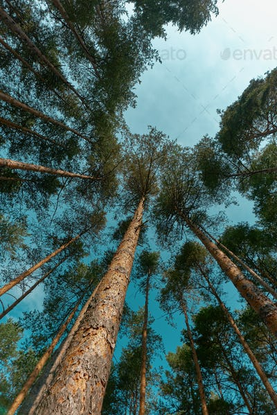 Low angle view of tall pine trees forest