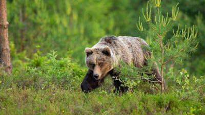Dangerous brown bear walking through a moorland in spring nature