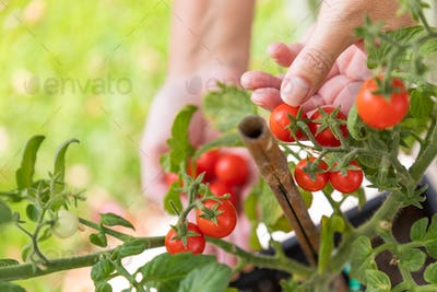 Woman Picking Ripe Cherry Tomatoes On The Vine in the Garden