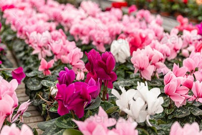 White and pink cyclamen flowers