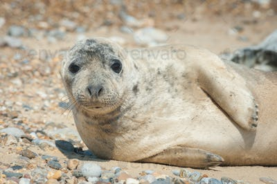 seal pup close-up