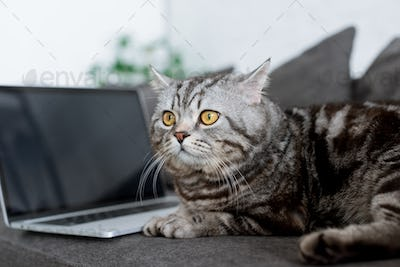 close-up shot of cute scottish straight cat with laptop on couch