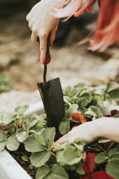 Woman gardening green and red leaf plant