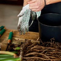 Man put on gloves near in black pot on wooden table , transplant indoor plants