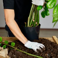 Man put soil in black pot with Zamioculcas on wooden table