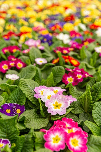 Colorful primulas in a greenhouse