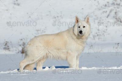 White Swiss Shepherd dog running on snow