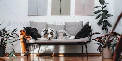 Australian dog sitting on sofa in apartment in daytime