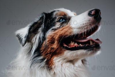 Headshot of joyful australian dog in white background