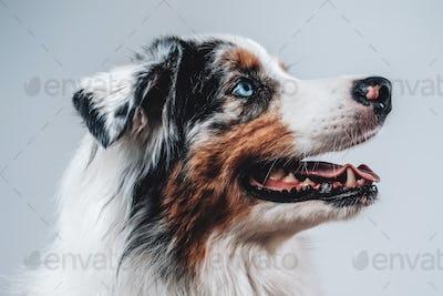 Beautiful australian dog with blue eyes in white background