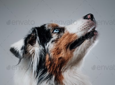 Adorable australian dog with blue eye and multicolored fur
