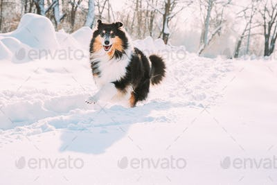 Funny Young Shetland Sheepdog, Sheltie, Collie Fast Running Outdoor In Snowy Park. Playful Pet In
