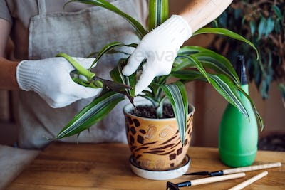 Spring Indoor Plant Care. Waking Up Indoor Plants for Spring. Female hands spray and washes the