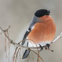 Eurasian bullfinch sitting on a stick and eating seeds ash.