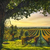 Bolgheri vineyard and a tree at sunset. Maremma, Tuscany, Italy