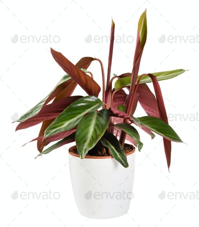 Calathea triostar potted plant showing the typical curling leaf