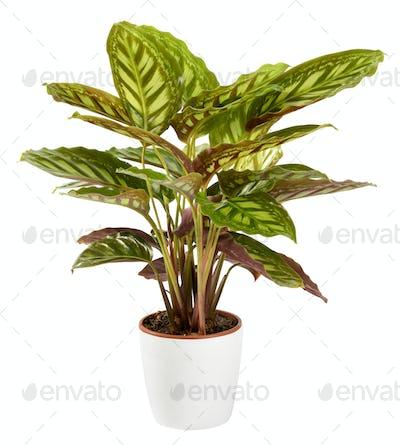 Variegated ornamental tricolor Calathea maranta plant in a white flowerpot
