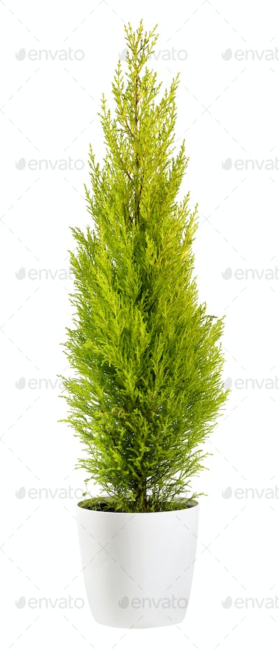 Cupressus wilma goldcrest in a flowerpot isolated on white