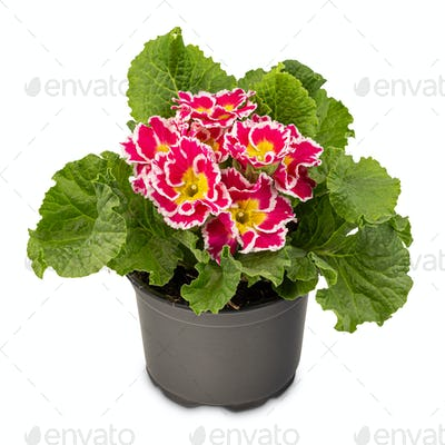 Blossoming red primrose